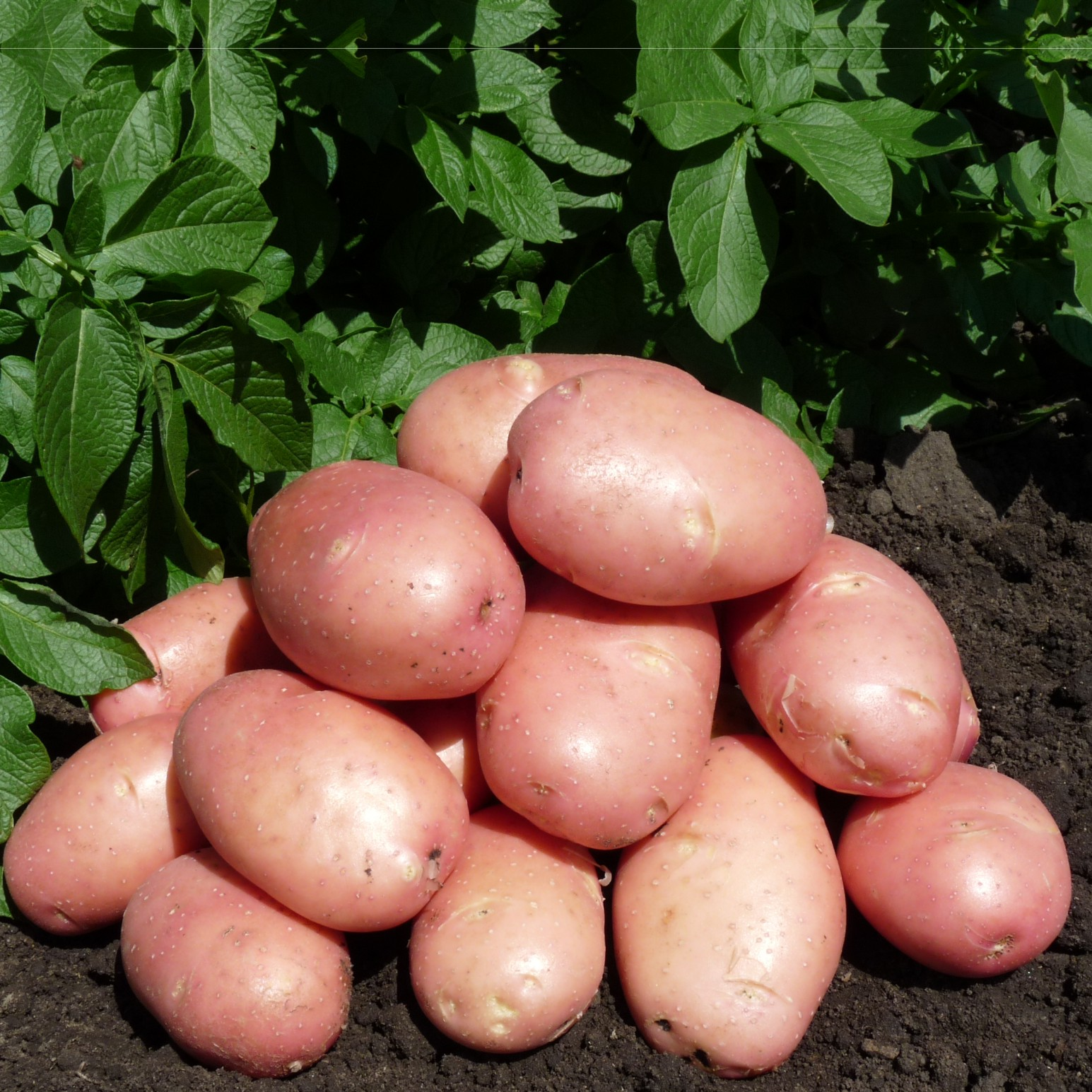 после ранние сорта картофеля красного фото заставляют